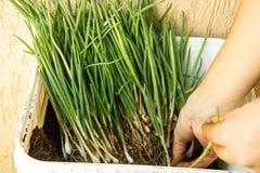Contenitore in pieno delle erbe che sono preparate per piantare Fotografie Stock