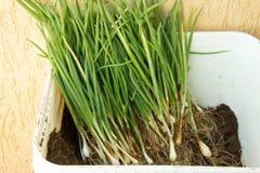 Contenitore in pieno delle erbe per piantare Fotografia Stock Libera da Diritti
