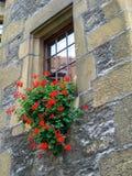Contenitore variopinto di fiore riempito di gerani rossi Fotografie Stock