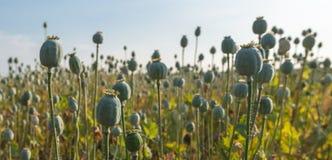 Contenitori di seme di papavero Fotografie Stock Libere da Diritti