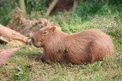 Content Capybara. A capybara relaxes on the grass royalty free stock images