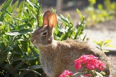 Content Looking Bunny Stock Photos