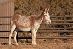 Content Mammoth Donkey in Sunlight. A mammoth donkey (Equus asinus) enjoying time in the sun on a ranch royalty free stock image