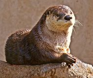 Content Otter Royalty Free Stock Photography