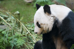 Content Panda. A panda content and resting after a meal stock images