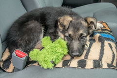 Content Puppy and his pet waiting in the car Stock Photo