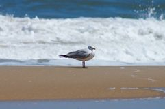 Content Seagull Resting Along the Outer Banks Coastline. This seagull stopped for a moment to enjoy some rest and relaxation along the Outer Banks Coast stock photo