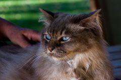 A content tiffany cat with hand of it`s owner royalty free stock photos