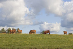 Contented cattle Stock Photos