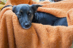 Contented Dog Laying on a Blanket Royalty Free Stock Photo