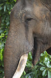 Contented Elephant Stock Images