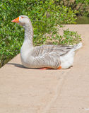 Contented Goose Stock Photos