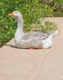 Contented Goose Stock Photos