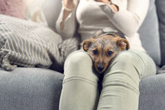 Contented little dog sleeping on its owners lap. Contented little dog sleeping on the lap of a young woman sitting on a sofa looking intently at the camera with Royalty Free Stock Images