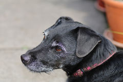Contented older dog. Senior contented black dog with grey whiskers stock photos