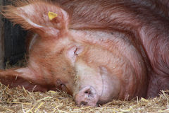 Pig lying down asleep with a smile. Picture of a pig sleeping lying down on straw in a farm barn. A large pig appears to be smiling royalty free stock images