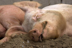 Contented Pig. Well Fed Pig sleeping contentedly royalty free stock photo