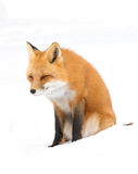 Red fox (Vulpes vulpes) with a bushy tail isolated on white background hunting in the freshly fallen snow in Algonquin. Contented Red fox Vulpes vulpes royalty free stock images