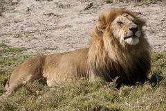 Contented regal lion Stock Photo