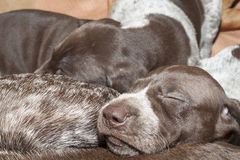 Contented sleep, German shorthaired pointer puppy Royalty Free Stock Image