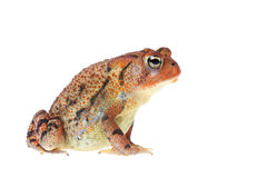 Contented Southern Toad Isolated on White Royalty Free Stock Photography
