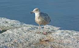 Contented Young Gull Stock Photos