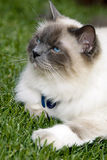 Contentment. A relaxed domesticated Birmese cat relaxing on a lawn Royalty Free Stock Images