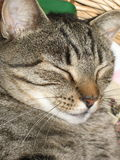 Contentment. Closeup picture of female cat name tiger sleeping in basket Stock Photos