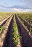 Contesto agricolo di verdure del giacimento della patata dell'aratro Immagine Stock