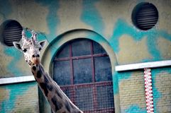 Contesto urbano di Pechino della giraffa Fotografia Stock