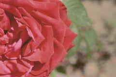 Contesto variopinto Fondo dell'annata del mazzo del fiore di Rosa Composizione floreale fotografia stock