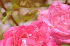 Contesto variopinto Fondo dell'annata del mazzo del fiore di Rosa Composizione floreale fotografia stock libera da diritti