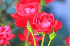 Contexte brouillé par roses rouges d'été photos stock