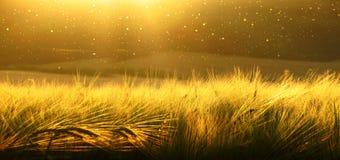 Contexto da cevada de amadurecimento do campo de trigo amarelo no fundo nebuloso do ultrawide do céu do amarelo/ouro do por do so Fotografia de Stock Royalty Free