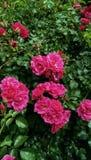 Contexto de las plantas florecientes Imagen de archivo