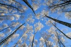 Contexto de los troncos largos, delgados de los árboles de abedul que alcanzan a Fotografía de archivo libre de regalías