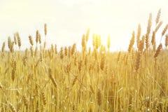 Contexto de oídos de maduración del campo de trigo amarillo en el fondo anaranjado nublado del cielo de la puesta del sol Fotografía de archivo
