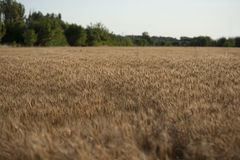 Contexto de oídos de maduración del campo de trigo amarillo en el fondo anaranjado nublado del cielo de la puesta del sol Copie e Fotos de archivo libres de regalías