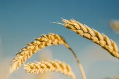 Contexto de oídos de maduración del campo de trigo amarillo en el fondo del cielo Copie el espacio de los rayos del sol poniente  Imagenes de archivo