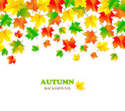 Contexto hermoso del otoño con el arce que cae del color Fotos de archivo libres de regalías