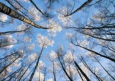contexto natural de los troncos largos, delgados de los árboles de abedul Imagen de archivo libre de regalías