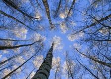 Contexto natural hermoso de los troncos largos, delgados del abedul Imágenes de archivo libres de regalías