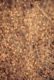 Contexto seco de la flora Fotos de archivo libres de regalías