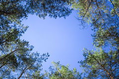 Contifer trees tops look-up to blue sky Stock Photo