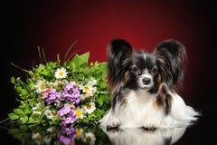 Continentaal Toy Spaniel met een boeket van bloemen royalty-vrije stock foto's