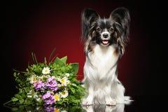 Continentaal Toy Spaniel met een boeket van bloemen royalty-vrije stock afbeeldingen