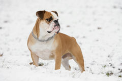 Continental bulldog Royalty Free Stock Image