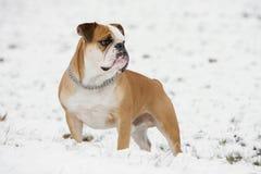 Continental bulldog Royalty Free Stock Image