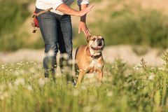 Continental Bulldog and his handler. Joint training in a meadow. Signals and hand signals. Obedient Continental Bulldog and his handler. Joint training in a royalty free stock photos