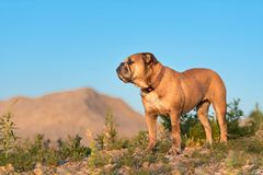 Continental Bulldog ist standing in front of a hill royalty free stock photo